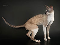 CH.Diamond Vesjoly Elf*RU, Cornish Rex